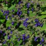 Salvia 'Guatemala'