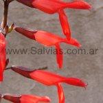 S. gesneriiflora 'compacta'