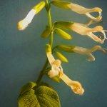 Salvia gesneriiflora x S. madrensis