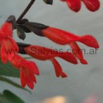 Salvia gesneriiflora