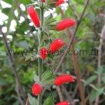 Salvia gachantivana