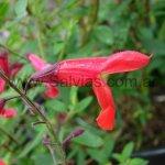 Salvia gracilramulosa