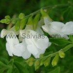 Salvia greggii 'Alba'