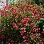 Salvia greggii 'Coral'
