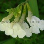 S. greggii de flores amarillas