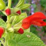Salvia grewifolia