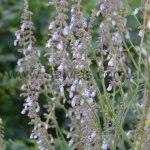 Salvia guadalajarensis