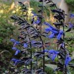 image salvia-black-and-bloom-aspect-jpg