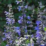 image salvia-black-and-bloom-calyx-colour-jpg