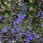 image salvia-black-and-bloom-calyx-jpg