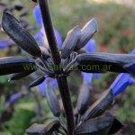 Salvia guaranitica 'Black and Bloom'