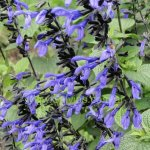image salvia-black-and-bloom-flowers-jpg
