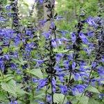 image salvia-black-and-bloom-habit-jpg