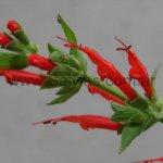 Salvia haenkei