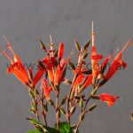 Salvia heerii