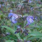 Salvia heldreichiana