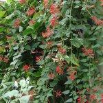 Salvia holwayi