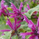 Salvia iodantha