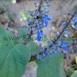 Salvia ibugana