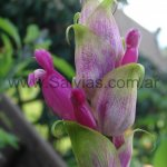 Salvia involucrata 'Boutin'