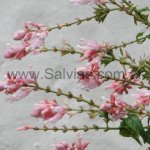 Salvia involucrata 'Pink icicles'