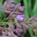 image salvia-itatiaiensis-calyx-close-up-jpg