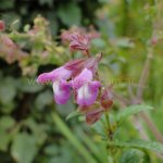 image salvia-itatiaiensis-close-up-jpg