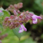 image salvia-itatiaiensis-flower-spike-jpg