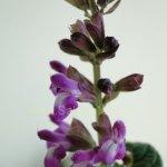 image salvia-itatiaiensis-flowers-jpg