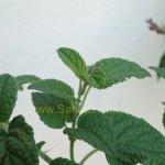 image salvia-itatiaiensis-foliage-jpg