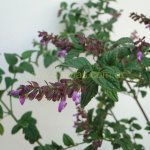 image salvia-itatiaiensis-growth-habit-jpg