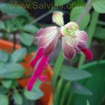 image salvia-jazus-wish-calyxes-jpg