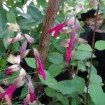 image salvia-jazus-wish-plant-jpg