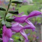 Salvia 'Jean´s Jewel'