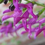 Salvia 'Jean´s Jewel'