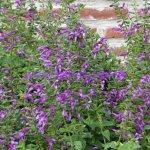image salvia-jeans-jewel-plant-jpg