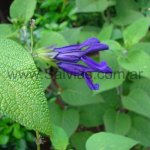 Salvia 'Jean´s Purple Passion'