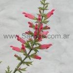 Salvia karwinskii