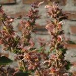 Salvia lasiantha 'Kathe'