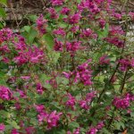 Salvia littae 'forma erecta'