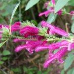Salvia littae 'forma rastrera'