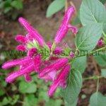 Salvia littae