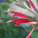 Salvia longistyla