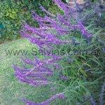 S. leucantha 'Purple Velvet'