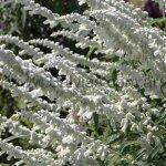 S. leucantha 'White Mischief'