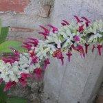 image salvia-leococephala-flowers-jpg