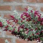 image salvia-leucocephala-colour-calyx-jpg