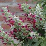 image salvia-leucocephala-colour-jpg