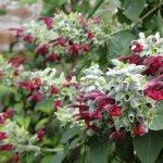Salvia leucocephala