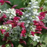 image salvia-leucocephala-inflorescence-jpg